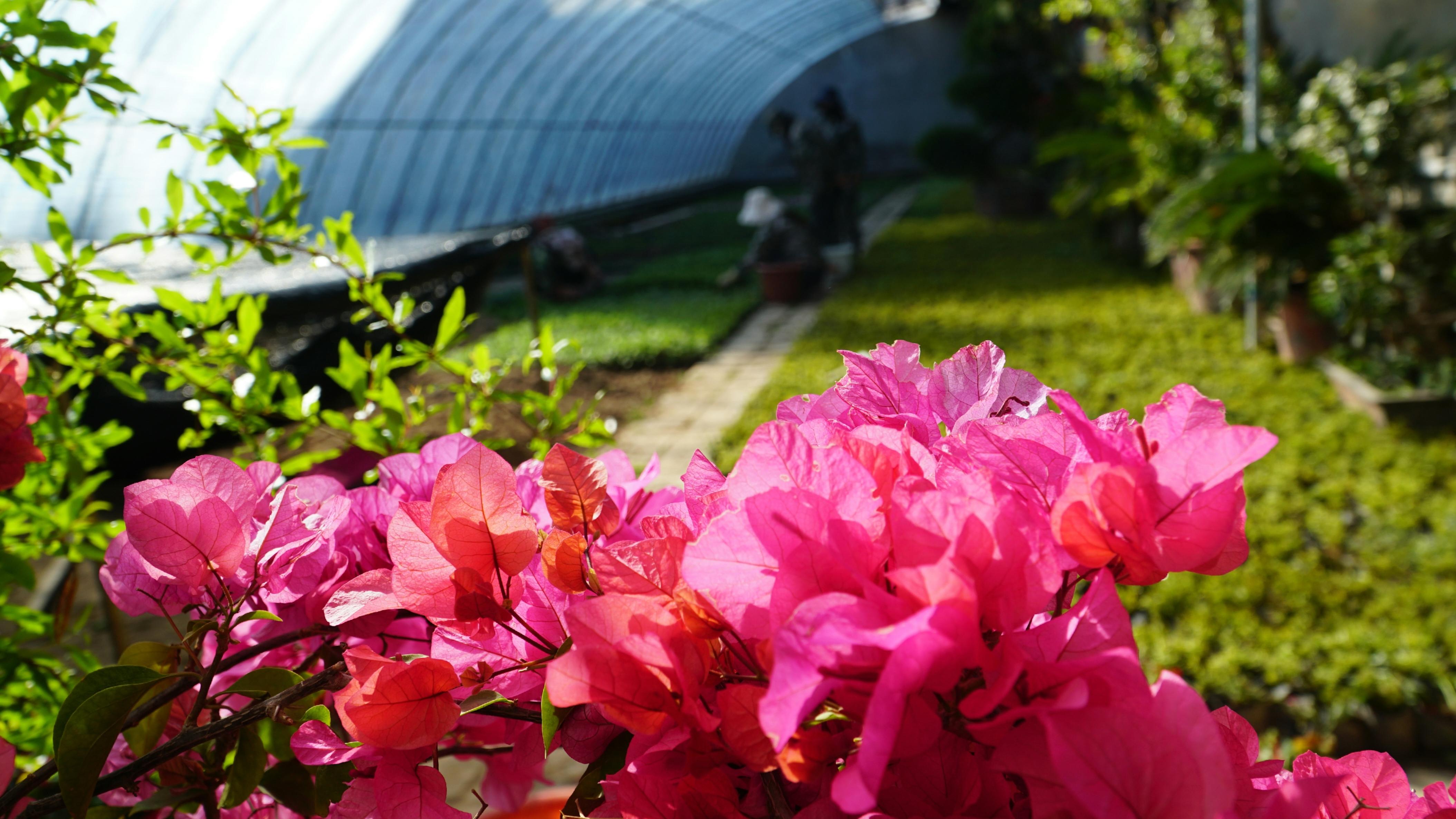 溫室花卉喜迎春