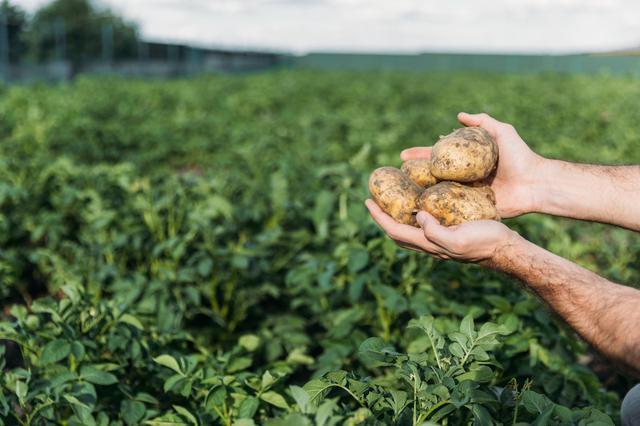 马铃薯徒长可减产七成,怎样控制薯苗贪青旺长?老农教你4招