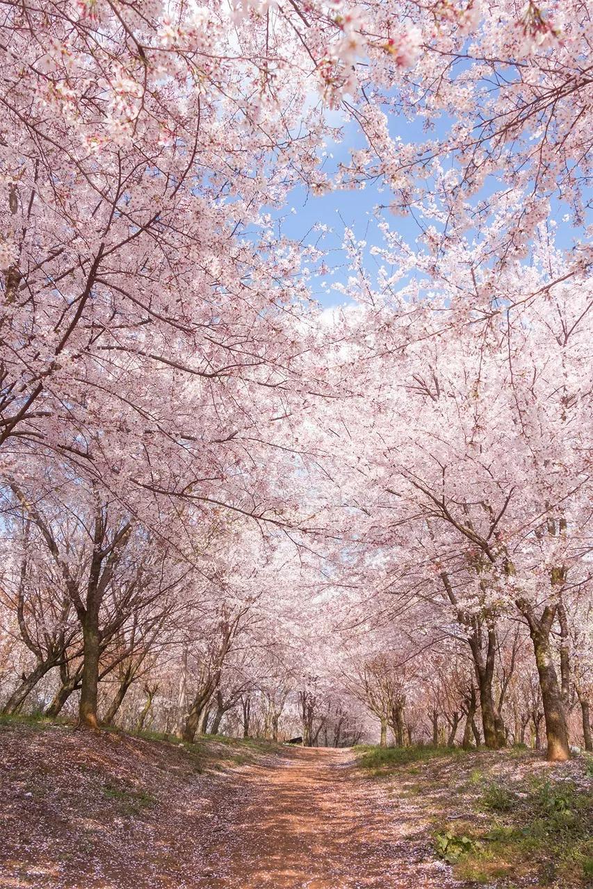美爆了!全世界最大樱花基地就在重庆隔壁,70万株樱花浪漫盛放!