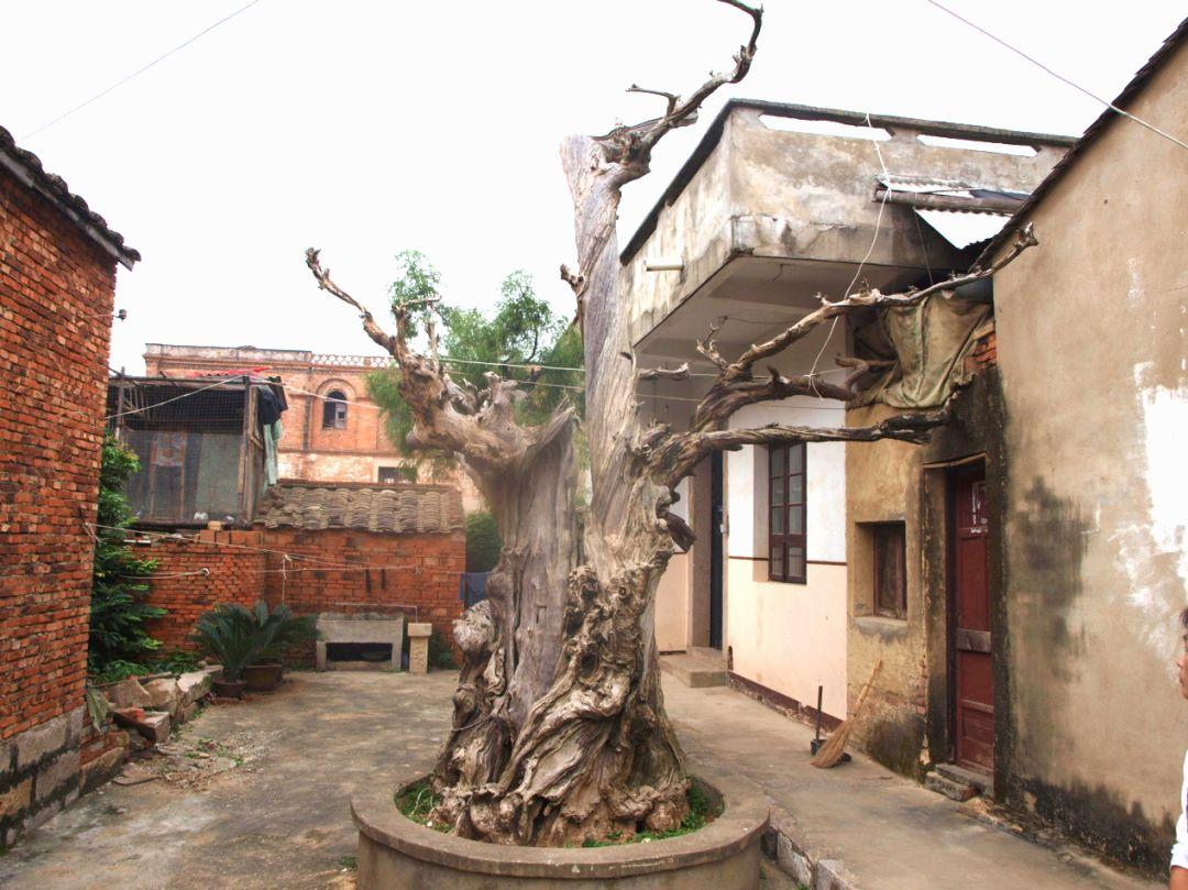【文化遗存】里美水松——福清仅存500多年的水松