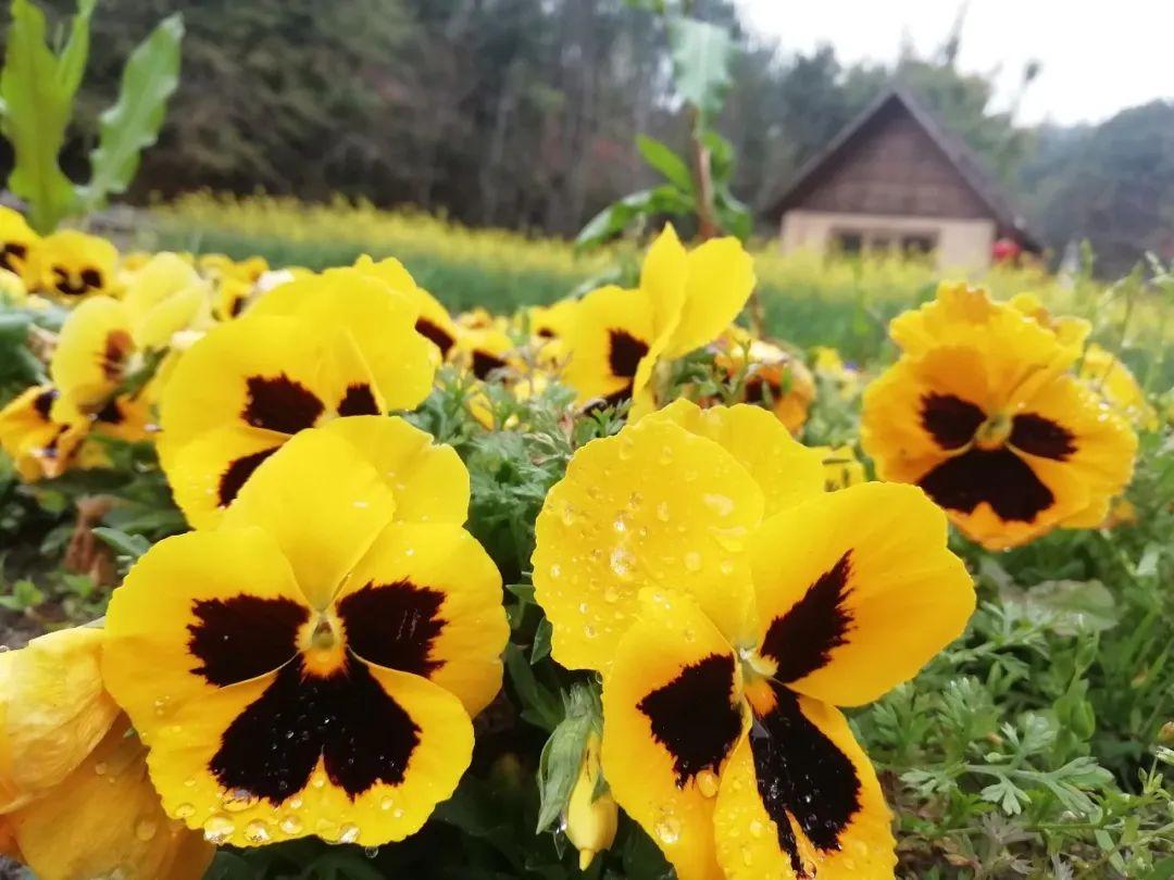 沙石镇的花田小镇景区花开正艳,蜜蜂采蜜忙图片