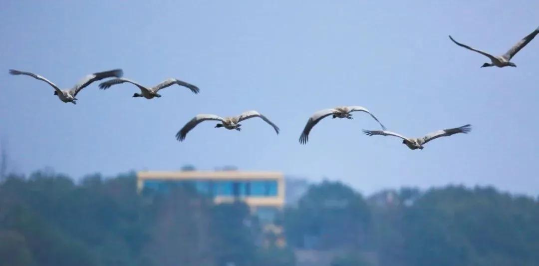 威宁草海国家级自然保护区越冬黑颈鹤陆续北迁