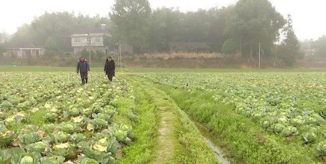 信息化助农行动|常德鼎城区贫困户种植的10万斤优质包菜急寻销路