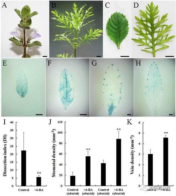 前沿科技|中科院科学家研究建立异叶水蓑衣高效遗传转化体系