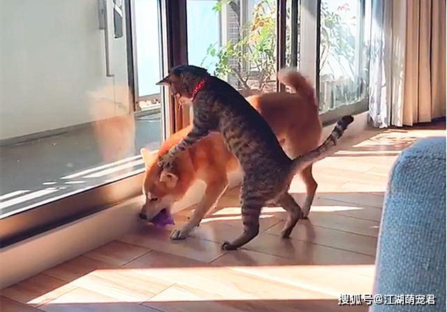 原创 居然有这么重口的狸花猫?爱上柴犬的味道后,经常上嘴舔一口