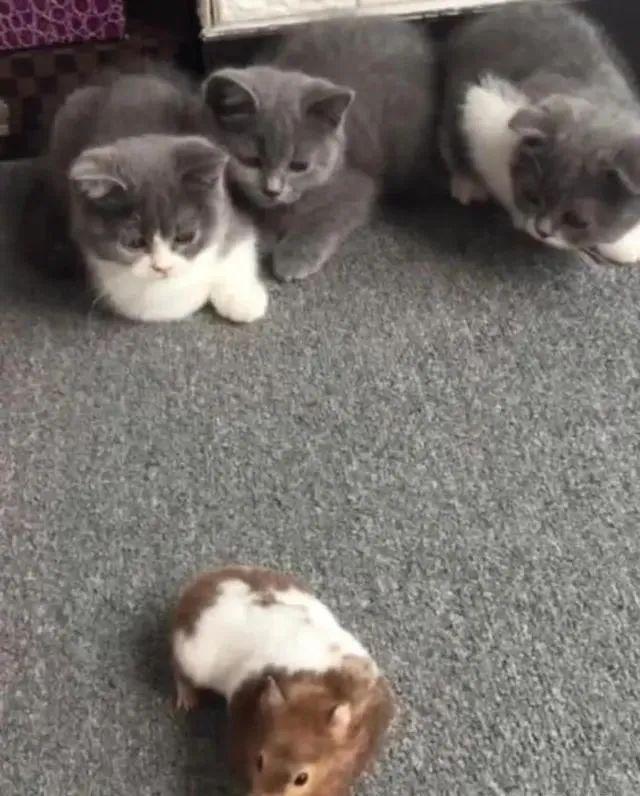 恒耀平台注册_主人出门把仓鼠留在家里,忘了家里还有3只猫咪