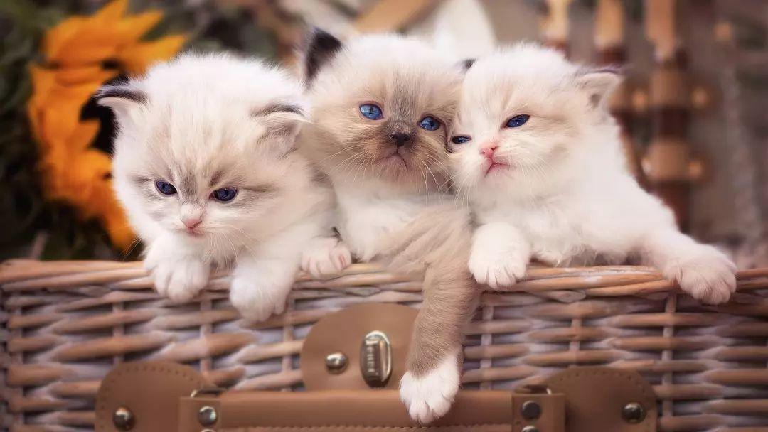 恒耀平台注册_有猫的你可能并不知道,原来养猫是招财的!
