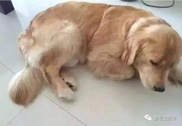 毛生@主人养了半年后,每一次遛狗都让她崩溃大金毛生了一窝小奶狗