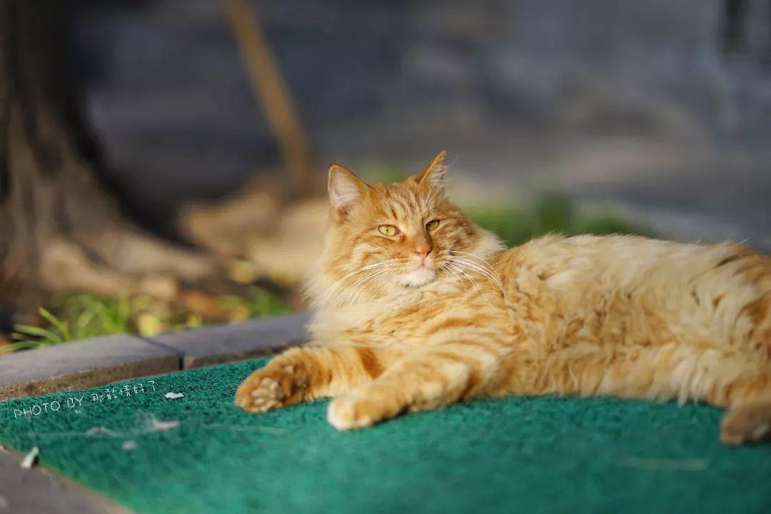 原创 庭院深深猫几许,爱猫人士扎堆儿到寺院里摸落难猫