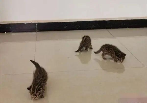 村民从甘蔗地捡回3只小奶猫,厥后惊觉不对劲……