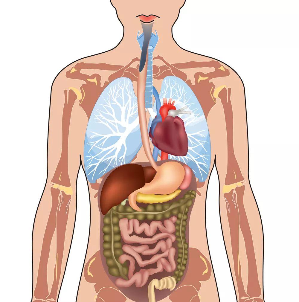 【胆囊位置图】_在哪里_部位-大众养生网
