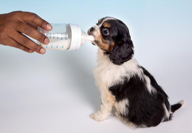 2、肚子里有寄生虫   狗狗呕吐狗粮时,宠主也要反思一下,自己是不是忘了给狗狗驱虫了!