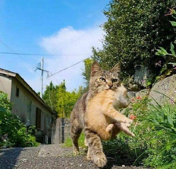 这只小猫贪玩不想回家,厥后直接被叼了回来,脸色有点严肃!