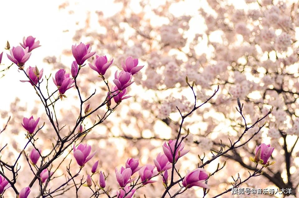 大洋詩歌:命運就像橘子樹, 卻長著荊棘的葉子和褐色的根