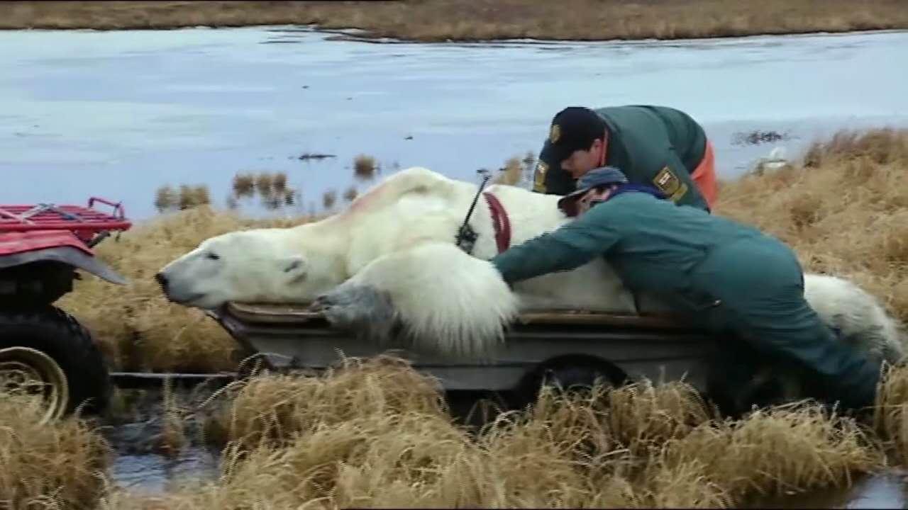"""""""囚犯""""北极熊:冰雪消融时,何处可为家?"""
