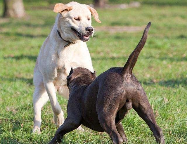 """为什么农村老一辈的人说,""""尾巴弯不起来""""的狗,最好不要养?"""