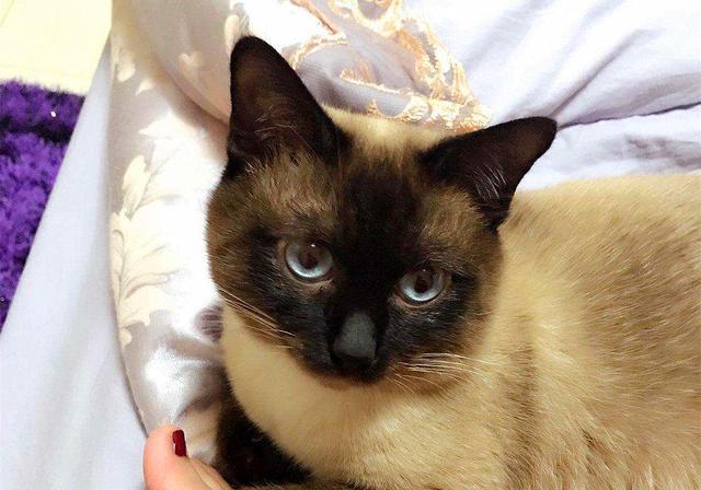 原创 猫咪带娃会若何?暹罗猫现身说法:在多重身份中转换,很是心酸