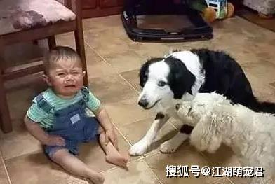"""原创 一条狗事实可以""""无耻""""到什么水平?主人示意:心太累了!"""