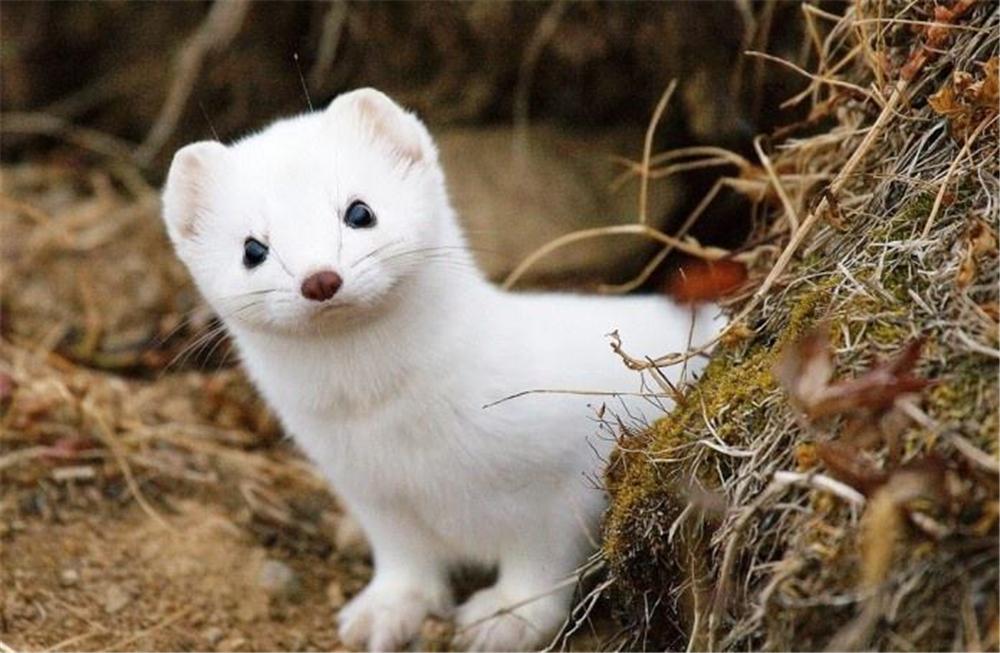 原创 阿尔山又现雪貂,闻分泌物就能辨牝牡,雌性发情不交配会危及生命