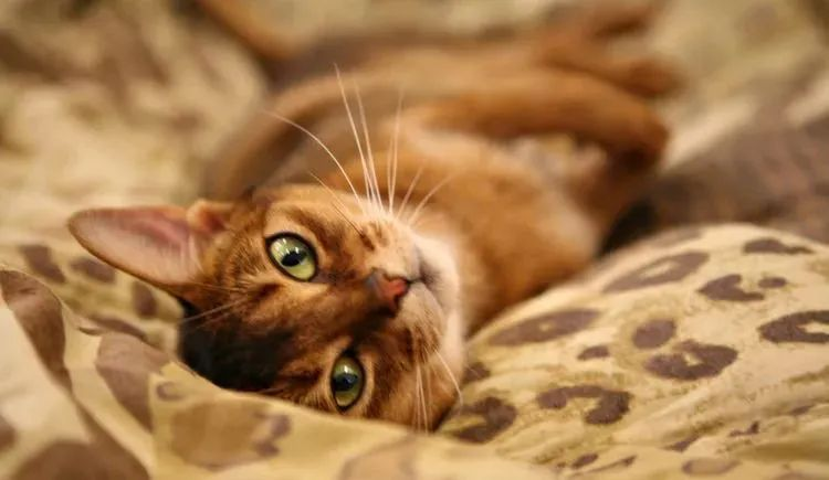 拥有帝王之相——阿比西尼亚猫