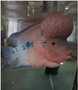 第一次看到罗汉鱼讨摸摸,原来它也会像狗狗一样亲人又撒娇!