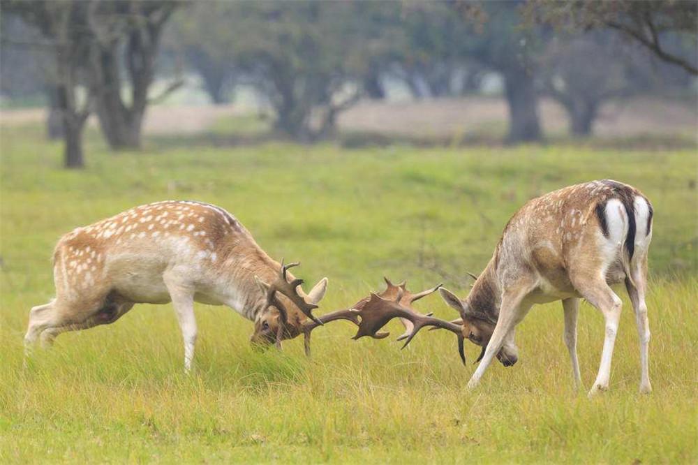 原创 地中海一油滑动物,角像驼鹿,体态像梅花鹿,择偶不看外表听声音