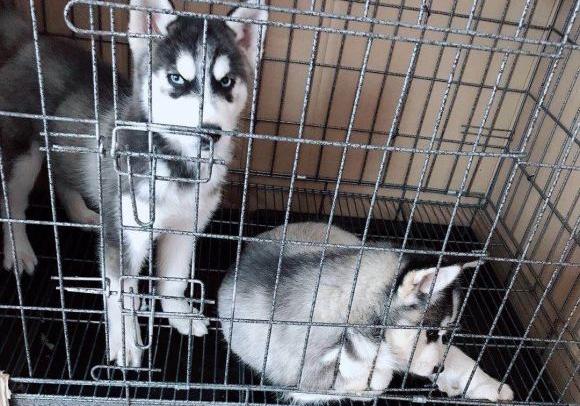 原创 网友把哈士奇关在笼子里,看到它们的眼神有些畏惧,是要行动么