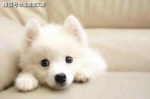 原创 【小我私家养狗履历分享】银狐犬耳螨是什么引起的,银狐犬耳螨会有什么影响