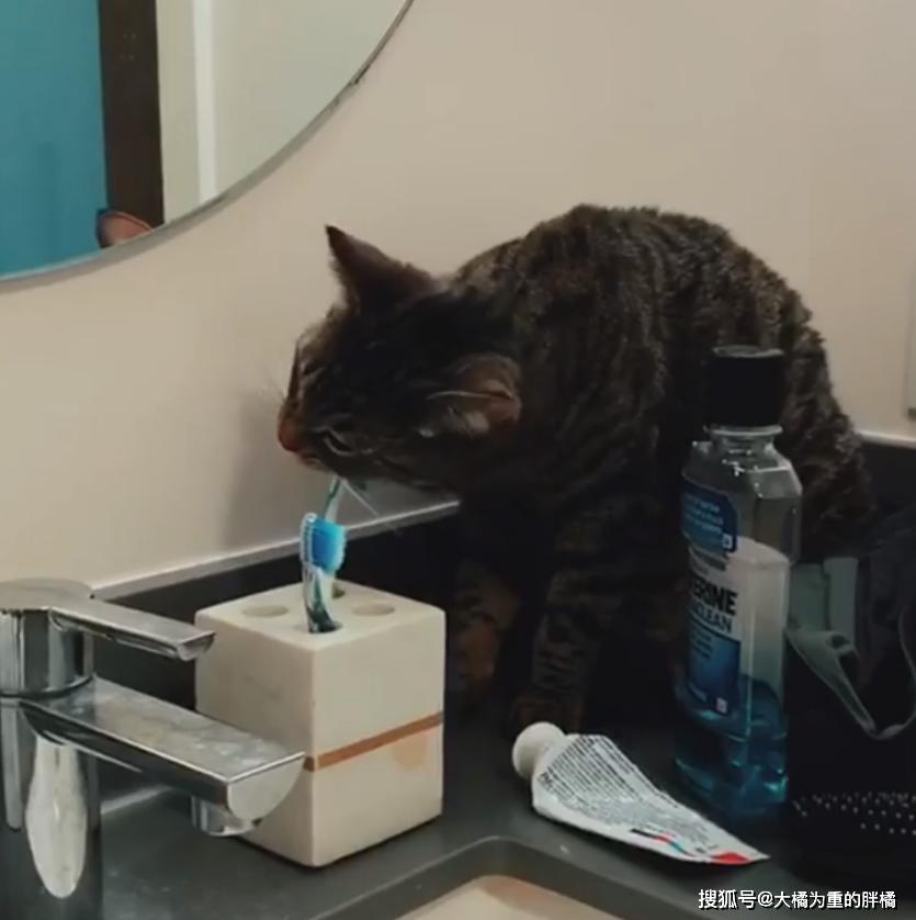 """原创 猫咪追随女子走南闯北,模拟能力太优异,连""""刷牙""""都知道要牙膏"""