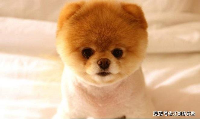 原创 看起来像棉花糖的博美犬,也有让人受不了的5个瑕玷