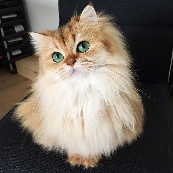 原创 当英国短毛猫变成了长毛品种后,画风完全不一样,太温柔了吧