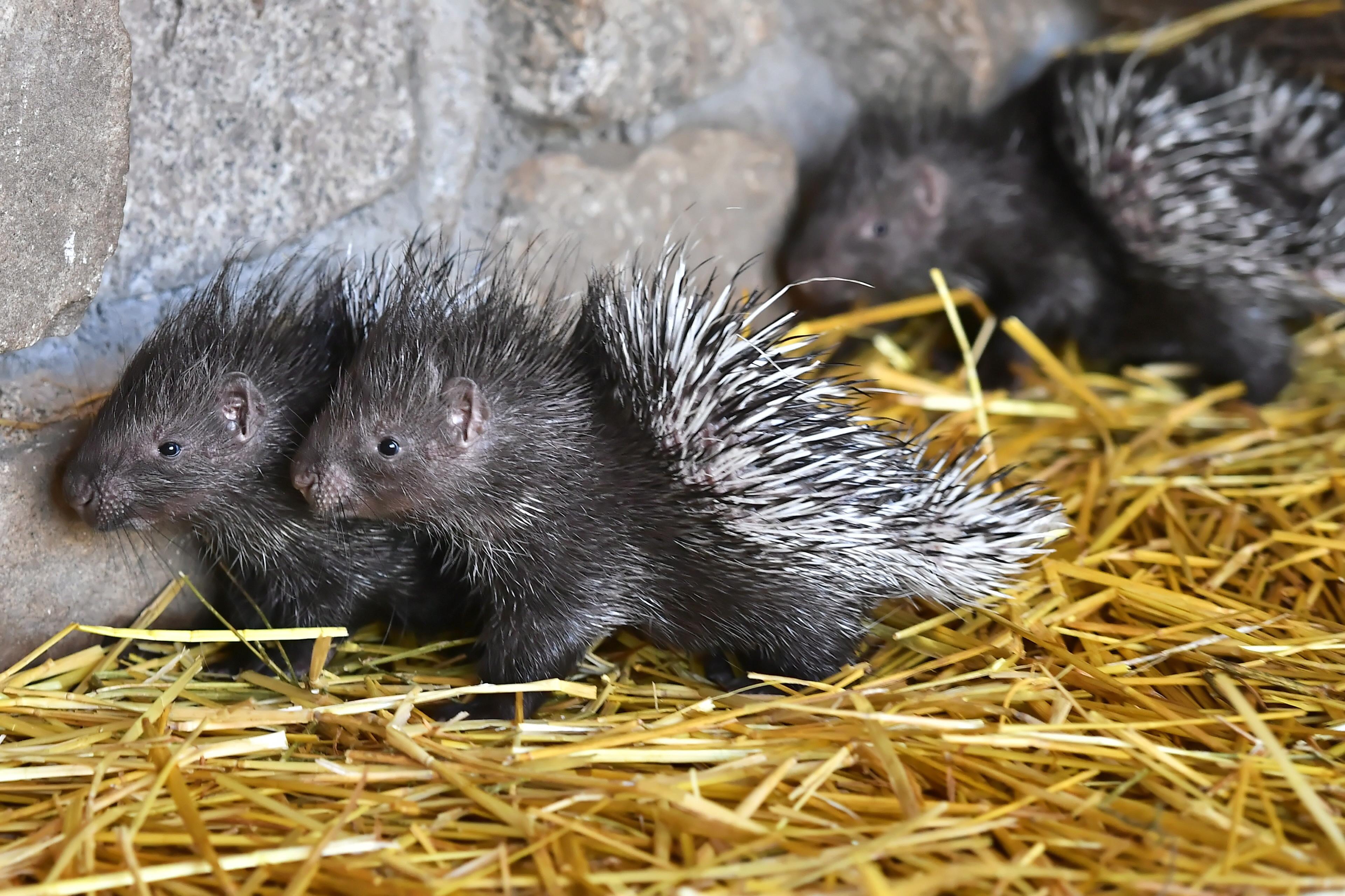 弗罗茨瓦夫动物园的冠豪猪