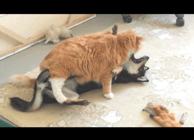 橘猫想给狗狗舔毛,它一开始拒绝,厥后无奈妥协:以大橘为重啊!