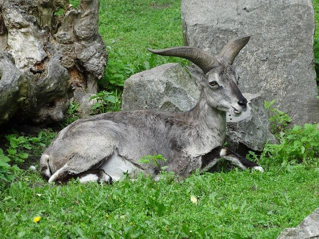 """原创 动物界中的""""傻呆萌""""——岩羊"""