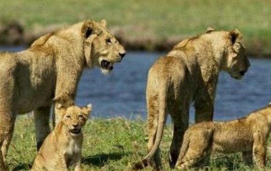母狮霸气制服鳄鱼后,一家子平安过河,狮子真的很壮大