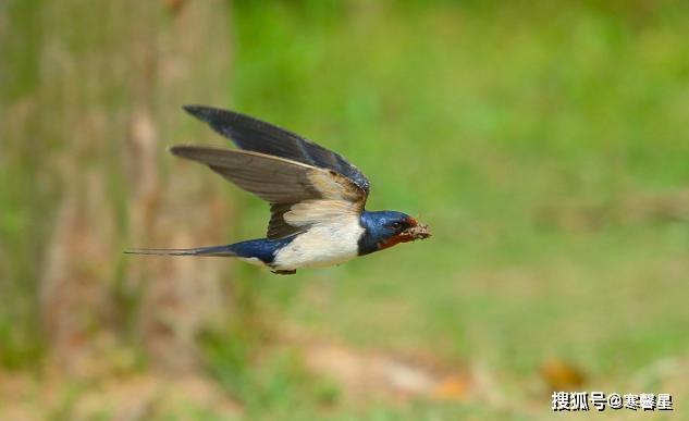 为什么燕子的数目在急剧削减?由于它们面临着和人类一样的问题