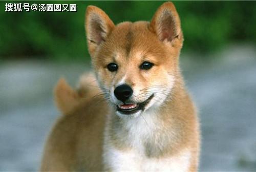 原创 【小我私家养狗履历分享】柴犬用橄榄油美毛吗,橄榄油能给柴犬美毛用吗