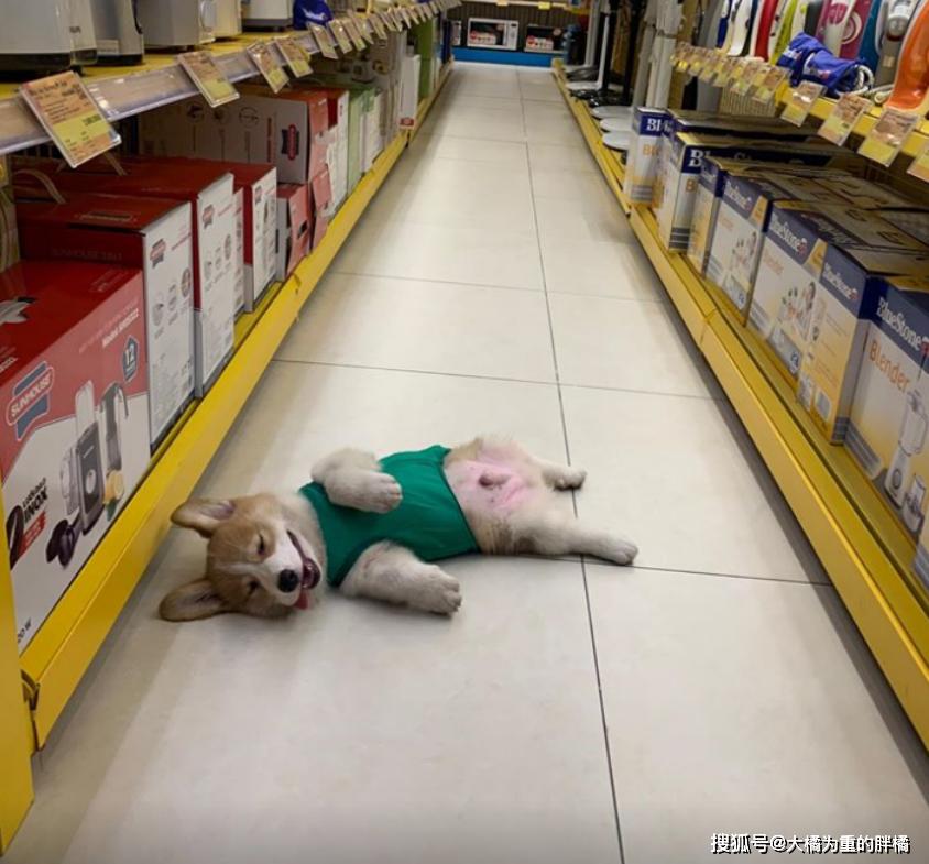 原创 柯基犬嗜睡如命,主人想整蛊它一下,却把自己吓到了,这狗真奇葩