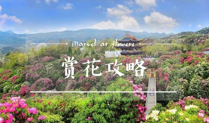 贵州百里杜鹃花开成海:9类人免票