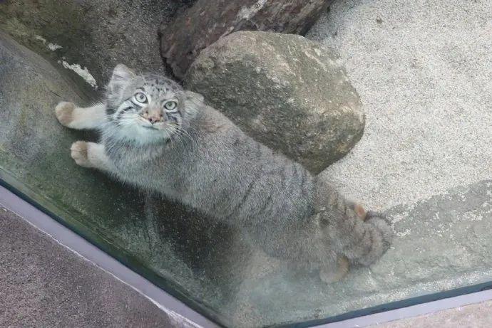 推主去动物园时拍到一只兔狲,却用这种新鲜的角度看人,怕怕!