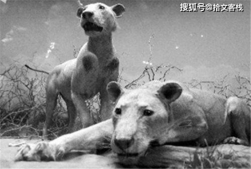 原创 两头令人心惊胆战的食人雄狮:进化到没有鬃毛,一年吃了135人