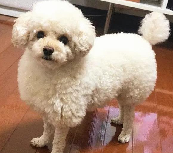 主人给狗狗剪了新造型,容貌很可爱,网友:明显就是一只小羊