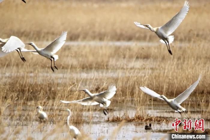 """白色虎式中国最北""""国际重要湿地"""