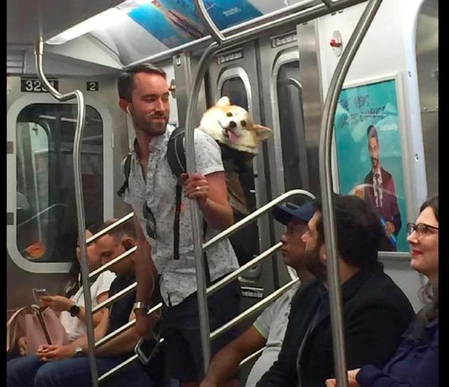 主人背柯基坐地铁,它的歪头杀萌翻了一车厢人
