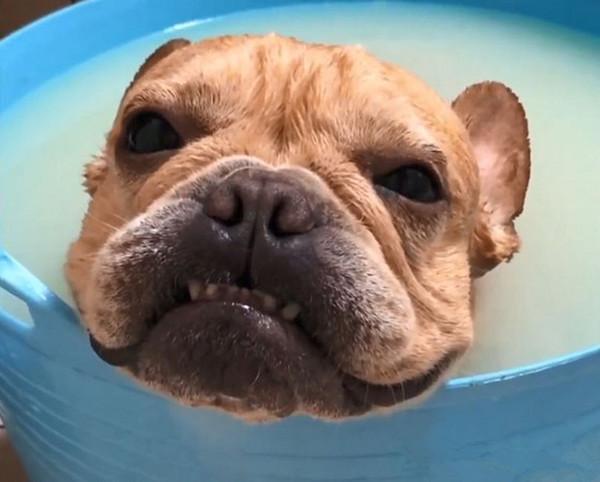 狗狗为了逃避沐浴,不是装睡就是装哭,还会龇牙,惋惜没用