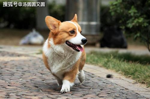 原创 【小我私家养狗履历分享】柯基小腿被抓破皮,柯基的小腿被抓伤