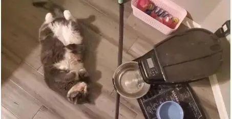 三花猫太胖被兽医迫令减肥,效果猫咪做出的行为让她啼笑皆非!