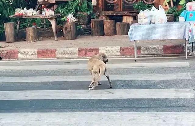 三只戏精狗狗,黄狗装瘸碰瓷,花狗和肥狗在旁神助攻!