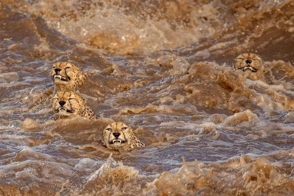 原创 这就是敬畏生命的缘故原由!猎豹五兄弟不惧鳄鱼,急流勇进,乐成上岸