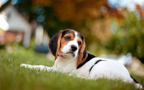 原创 【小我私家养狗履历分享】若何判断比格伤口化脓,怎么判断狗狗伤口已经化脓